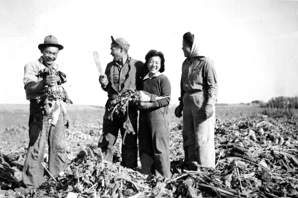 Fumi Tamagi (nee Moriyama) and three others picking sugar beets in Shaughnessy, Alberta, ca. 1943 NNM 2000.15.3